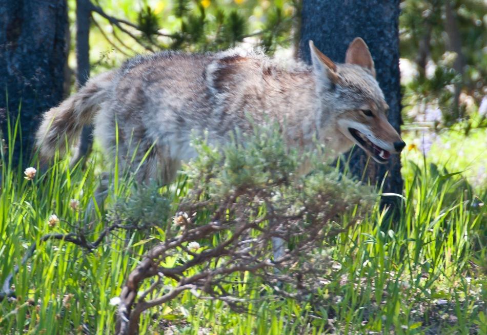 04 coyote 2018-06-26